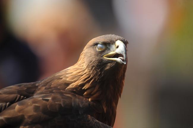 Nova Eagle Auburn