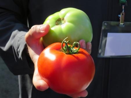 tomatoes felda